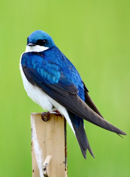 Tree_swallow_at_Stroud_Preserve